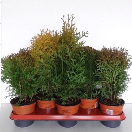 Thuja occidentalis MIX (Boomkwekerij Potcultuur Gebr. Rademaker)