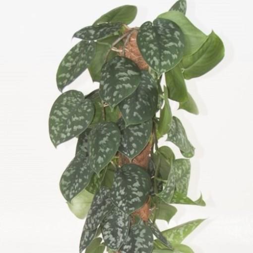 Scindapsus pictus 'Trebie' (Ammerlaan, The Green Innovater)