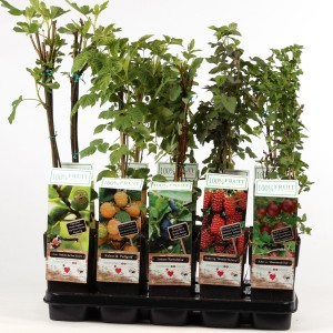 Fruit  MIX (Hoogeveen Plants)