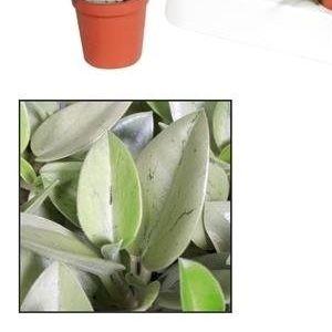 Peperomia 'Pixie Lime' (JoGrow B.V.)