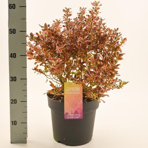 Coprosma MIX (Dool Botanic)