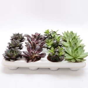 Succulents MIX (Bunnik Plants)