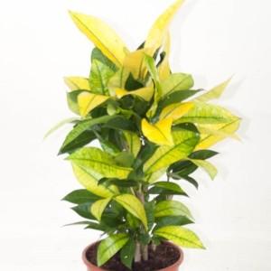 Codiaeum variegatum 'Brasilia'