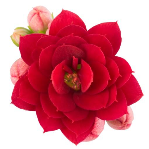 Kalanchoe blossfeldiana ROSE FLOWERS AFRICAN VELVET (Queen - Knud Jepsen a/s)