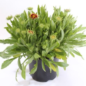 Gaillardia MIX (Experts in Green)