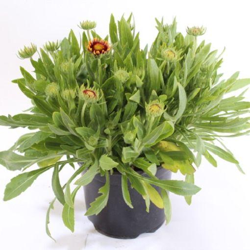 Gaillardia MIX (Experts in Green)