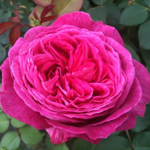 Rosa FREIFRAU CAROLINE (Lakei Boomkwekerijen)