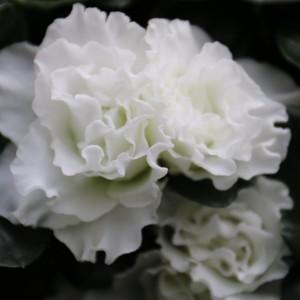Rhododendron 'Witte Vogel' (De Bruyne - Flandresse)