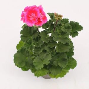 Pelargonium VINETA