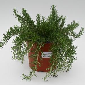 Rosmarinus officinalis 'Prostratus' (Green Collect Sales)