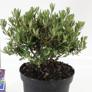 Rhododendron 'Azurika'