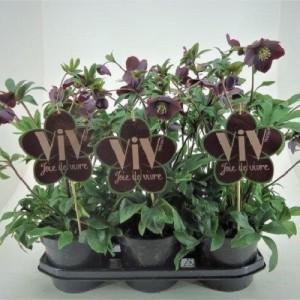 Helleborus orientalis 'Victoria' (FlevoFlora)