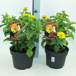 Heliopsis helianthoides (Experts in Green)