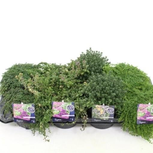 Thymus MIX (Noordpoel, Kwekerij de)