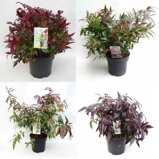 Leucothoe MIX (Snepvangers Tuinplanten BV)