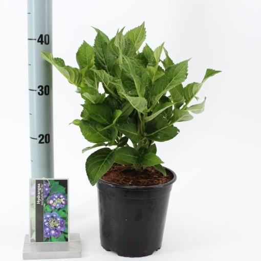 Hydrangea macrophylla 'Blaumeise' (About Plants Zundert BV)