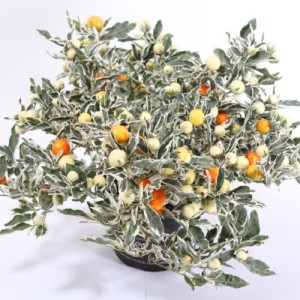 Solanum pseudocapsicum 'Ivema'