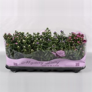 Aster MYSTERY LADY MIX (Endhoven Flowering Plants)