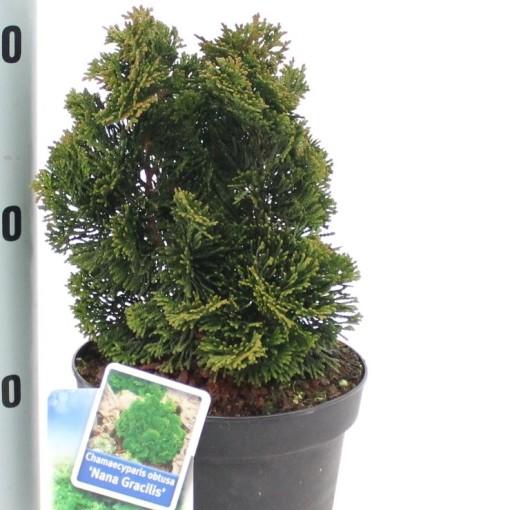 Chamaecyparis obtusa 'Nana Gracilis' (About Plants Zundert BV)