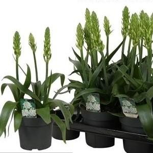 Ornithogalum thyrsoides 'Chesapeake Snowflake' (Vreugdenhil Bulbs & Plants)