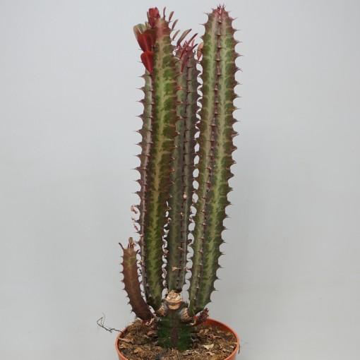 Euphorbia trigona 'Rubra' (Ubink)