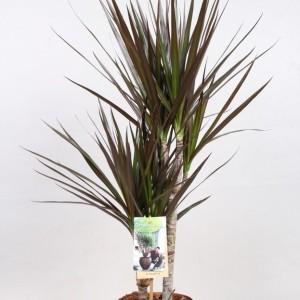 Dracaena marginata 'Magenta' (Vireo Plant Sales)