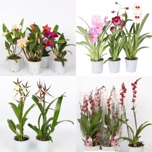 FA Orchids SELECTION #225