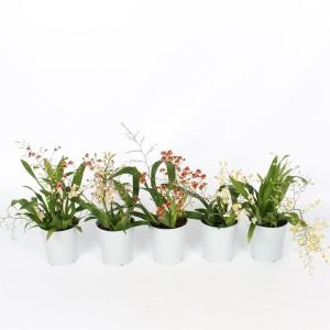 Oncidium TWINKLE MIX (Lansbergen Orchideeën)