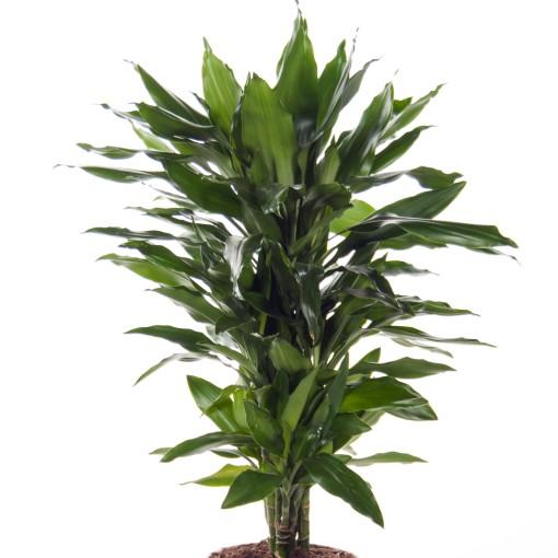 Dracaena fragrans 'Janet Lind' (Ammerlaan, The Green Innovater)