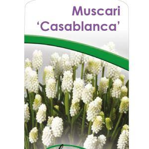 Muscari 'Casablanca' (Komen, Kwekerij MJ )