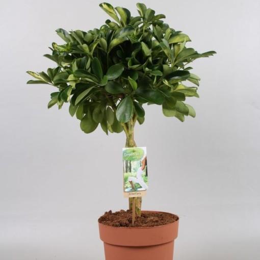 Schefflera arboricola 'Gold Capella' (Vireõ Plant Sales)