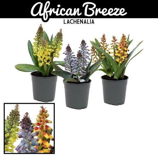 Lachenalia AFRICAN BEAUTY MIX (Vreugdenhil Bulbs & Plants)