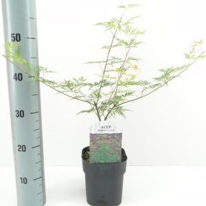 Acer palmatum 'Emerald Lace' (Hooftman boomkwekerij)