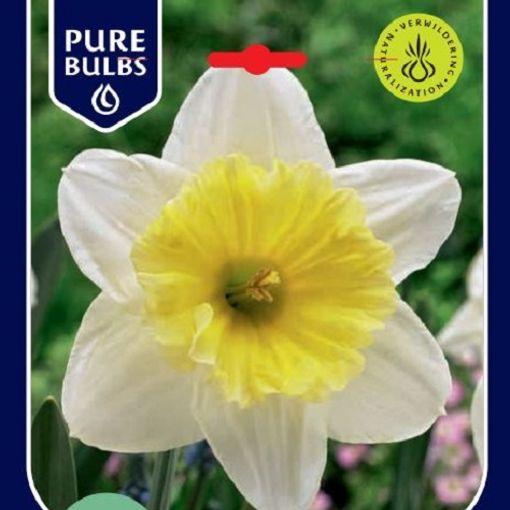 Narcissus 'Ice Follies' (Bosrand, Kwekerij de)