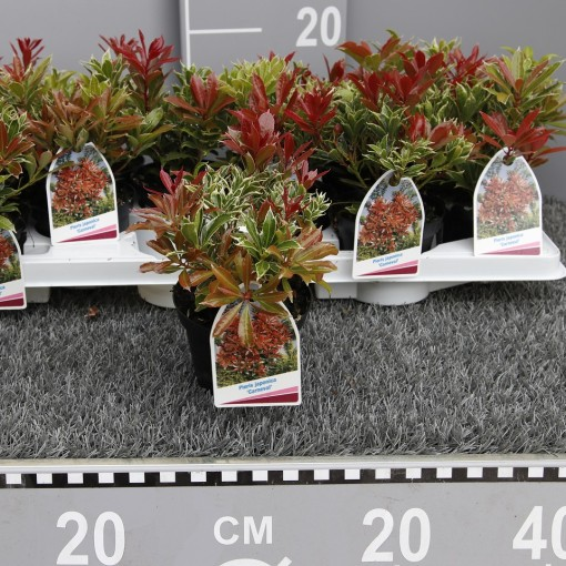 Pieris japonica 'Carnaval' (Experts in Green)
