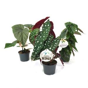 Begonia maculata ANGEL MIX