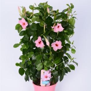 Mandevilla RIO PINK (Bunnik Plants)