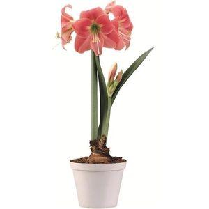 Hippeastrum 'Amalfi' (Vreugdenhil Bulbs & Plants)