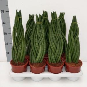 Sansevieria cylindrica 'Braid'