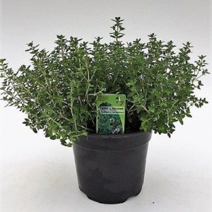 Thymus x citriodorus (Green Collect Sales)