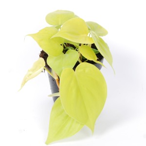 Philodendron scandens micans 'Lime' (Van der Arend Tropical Plantcenter)