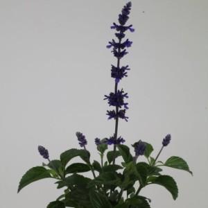 Salvia MYSTIC SPIRES BLUE (Kwekerij de Noordpoel)