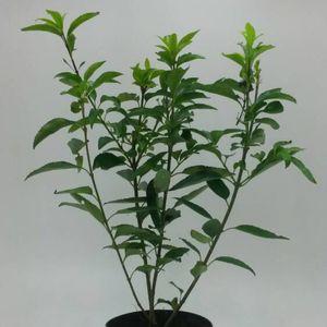 Forsythia x intermedia 'Spectabilis' (WTM de Boer)