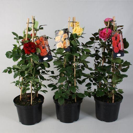 Rosa MIX (FBB Plant)