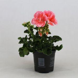 Pelargonium SUMMER IDOLS PINK