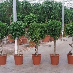 Ficus MIX (Fachjan)