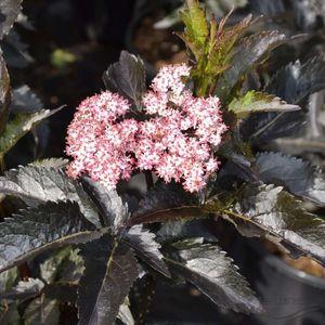 Sambucus nigra BLACK TOWER (About Plants Zundert BV)