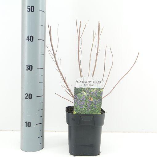 Caryopteris x clandonensis 'Kew Blue' (Hooftman boomkwekerij)
