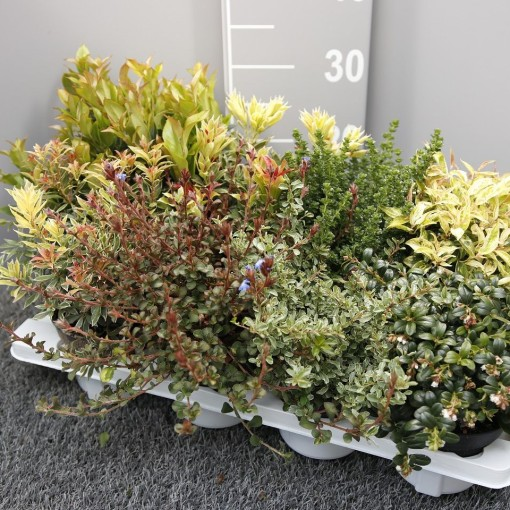Shrubs MIX (Experts in Green)