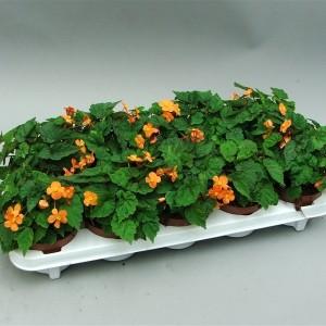 Begonia sutherlandii 'Papaya' (Gebr. Grootscholten)